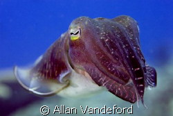 Cuttlefish found at Rainbow Reef, Russell Island Group, S... by Allan Vandeford